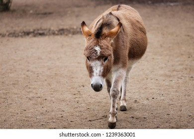 Full body of domestic brown-white donkey on the farm. Photography of nature and wildlife.