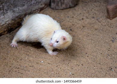 Full body of domestic white-beige male ferret. Photography of nature and wildlife.