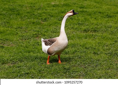 Full body of domesticated chinese geese on the green meadow.