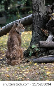Full body of eurasian lynx (lynx lync) in the forest. Photography of nature and wildlife.
