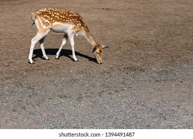 Full body of female fallow deer (dama, dama) on the meadow. Photography of lively Nature.