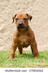Full body front view of a standing Rhodesian Ridgeback puppy with alert facial expression.