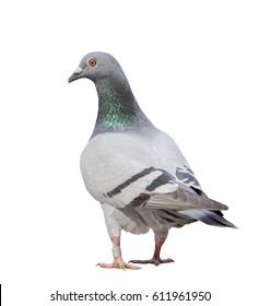 full body of gray pigeon bird isolate white background