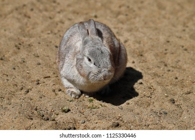 Full body of grey domestic pygmy rabbit (bunny). Photography of nature and wildlife.