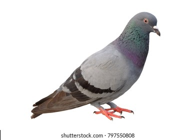 Full body of grey pigeon isolated on white background with clipping path.