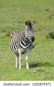 Full body of a highly pregnant Zebra standing and staring in South Africa