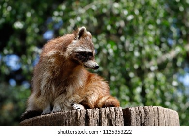 Full body of lotor common raccoon sitting on the tree trunk. Photography of nature and wildlife.