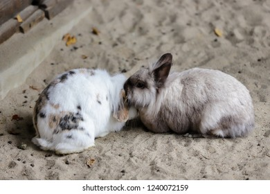 Full body of pair multicolor domestic pygmy rabbits. Photography of nature and wildlife.