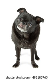 Full body photo of black color purebred Pug dog standing on white, sticking tongue out