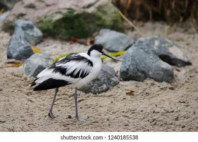Full body of Pied Avocet (Recurvirostra avosetta) black and white waterbird. Photography of nature and wildlife.