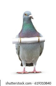 full body of pigeon bird and paper letter message hanging on breast for media ,pres and communication theme
