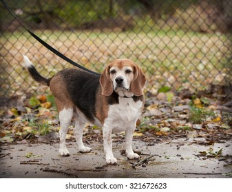 full body of plump  senior beagle dog on a leash looking towards camera against chain link fence