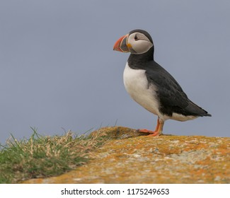 Full body portrait of an Atlantic puffin (Fratercula arctica) standing on a rock in Elliston, Newfoundland and Labrador