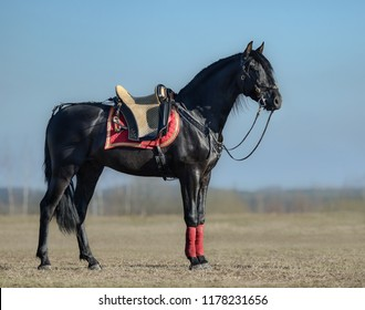 Full body portrait of black Spanish horse with portugal saddle in spring field.