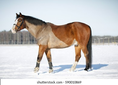 Full body portrait of brown pony in snow.