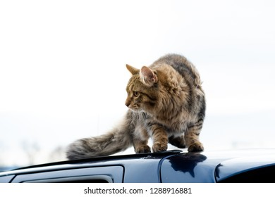 Full body portrait outdoor mixed breed cat gray brown portrait standing on the car roof