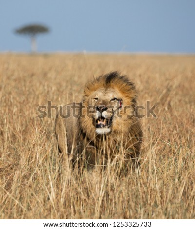 Full body portrait of Sand River or Elawana male lion surrounded by tall grass of the Masai Mara with acacia tree and blue sky in blurred background in Kenya