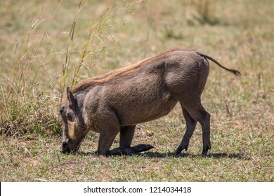 Full body profile portrait of warthog, Phacochoerus aethiopicus, kneelingl the warthog kneels in order to reach short grass due to its short neck