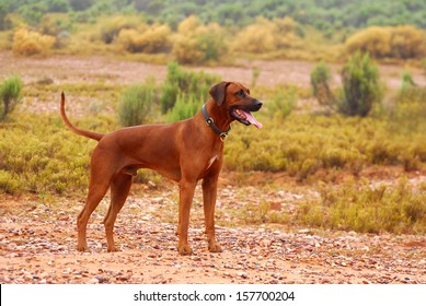 Full body of a purebred African wet Rhodesian Ridgeback male dog with alert facial expression standing in the rain in the Klein Karoo semi-desert in South Africa (focus on dog).