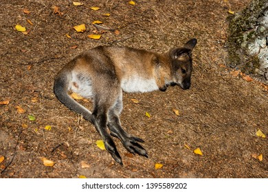 Full body of relax lying  joey young kangaroo on the meadow. Photography of lively nature and wildlife.