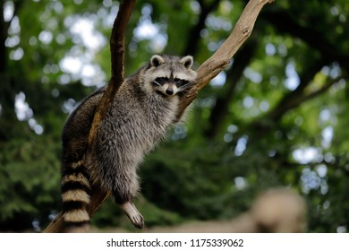 Full body of relaxing common lotor procyon raccoon on the tree branch. Photography of nature and wildlife.