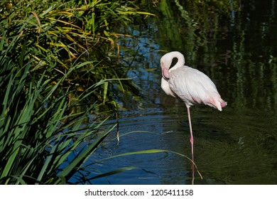 Full body of rosy colored flamingo waterbird wading in the river. Photography of nature and wildlife.