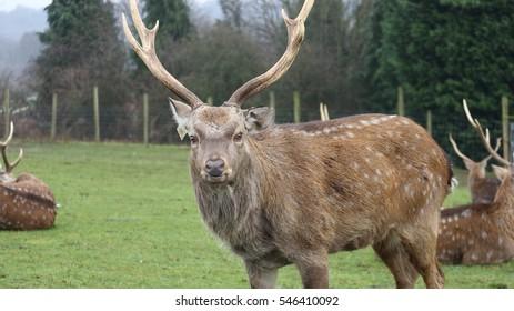 Full body Sambar deer with horns