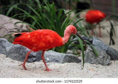 Full body of scarlet ibis (Eudocimus ruber) a species of ibis in the bird family Threskiornithidae. Photography of nature and wildlife.