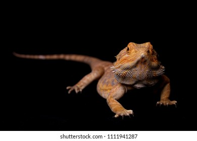 Full body shot of Bearded Dragon with head in focus and body out of focus