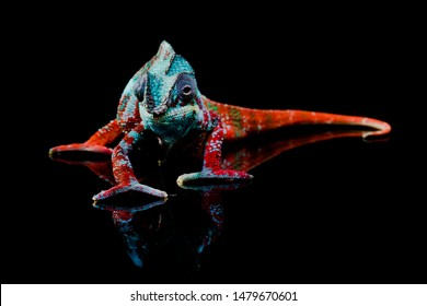 Full body shot of a colorful, blue, white and red panther chameleon facing the camera while standing on a black mirror where its reflection can be seen.