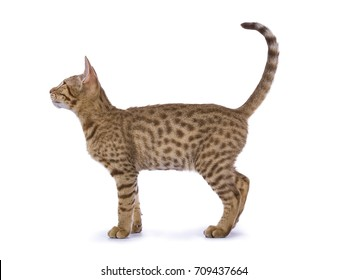 Full body shot side from Ocicat kitten isolated on white background