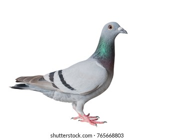 full body side view of homing pigeon bird isolated white background