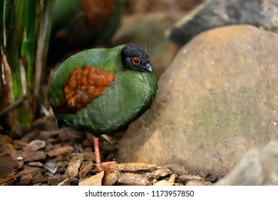 Full body of small female crested partridge is a resident breeder in lowland rainforests. Photography of nature and wildlife.