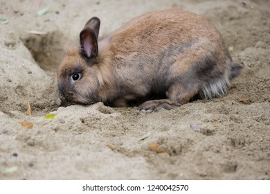 Full body of smoky-brown-grey domestic pygmy rabbit. Photography of nature and wildlife.