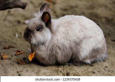 Full body of smoky-grey domestic pygmy rabbit. Photography of nature and wildlife.
