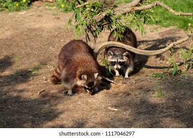 Full body of two common raccoons. Photography of nature and wildlife.