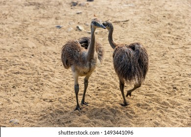 Full body of two youngest child grey greater rhea (Rhea americana). Photography of nature and wildlife.