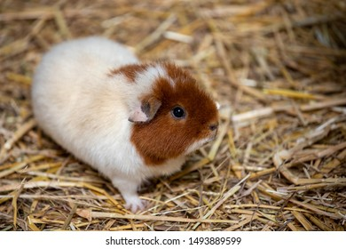 Full body of white-brown domestic guinea pig (Cavia porcellus) cavy on the straw. Photography of lively nature and wildlife.