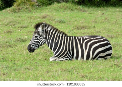 Full body of a Zebra foal with tired facial expression resting in the wild in South Africa