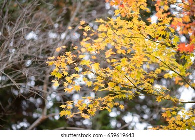 Full brunch soft yellow maple leaves from the tree