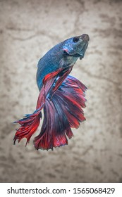 full color rose tail Moon Bettas, Siamese Fighting Fish