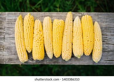 Full corn cob full farm in the morning. Closeup of ripe sweetcorn on the cob. Corn cobs on an old wooden board