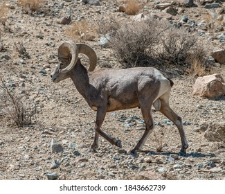 Full Curl Desert Bighorn Sheep Ram (Ovis canadensis nelsoni) in Walker Lake State Recreation Area just north of Hawthorne, Mineral County, NV, USA