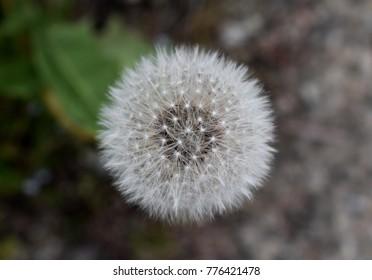 Full dandelion flower