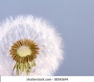 full dandelion head and seeds