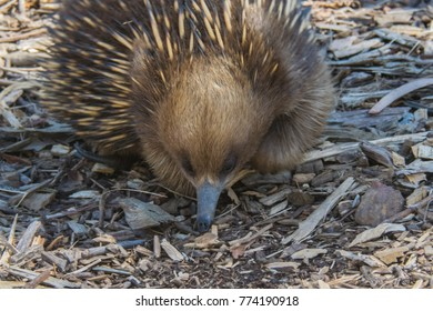 Full face closeup of an Echidna in Tasmania, Australia with focus on face and snout.