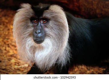 A Full Face shot of a Lion-Tailed Macaque /  Wanderoo  Monkey in Captivity.