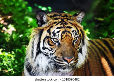 A full facial image of a tiger on the forest background