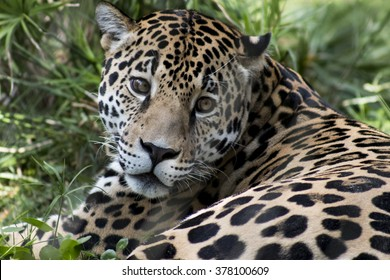 Full facial view of Jaguar intently watching the camera in an over the shoulder shot while lying in the grass featuring beautiful eyes.