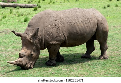 Full figure close up of  a Rhinoceros on green grass